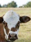 nyfiken cow3 Royaltyfria Bilder