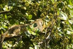nyfiken ekorre för apa Arkivfoton