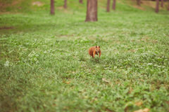 Nyfiken ekorre i parken Royaltyfria Bilder