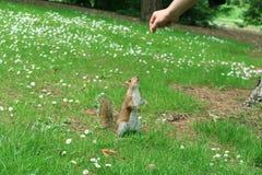 Nyfiken ekorre som når för en blomma Royaltyfri Foto