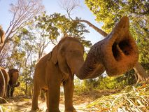 Nyfiken elefant Arkivfoton