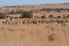 Nyfiken flock av antilop Arkivbild