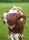nyfiken frisian för kalv arkivbilder