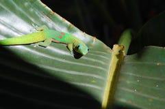nyfiken gecko Fotografering för Bildbyråer