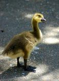 nyfiken gosling arkivbild