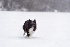 Nyfiken gräns Collie Dog Running på snö vinter för blåa snowflakes för bakgrund vit Royaltyfri Bild