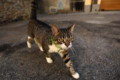 Nyfiken grå katt i Tuscany, Italien arkivbilder