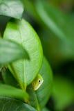 nyfiken grön ödla Arkivbild