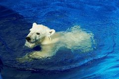Nyfiken gröngöling för vit björn som simmar kurs En isbjörn, en nordlig björn, en umkaLat Ursusmaritimus arkivbild