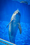 Nyfiken gullig delfin Royaltyfri Foto