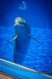 Nyfiken gullig delfin Arkivfoton