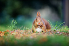 Nyfiken gullig eatinhhasselnöt för röd ekorre i höstskogjordning royaltyfri foto