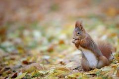 Nyfiken gullig eatinhhasselnöt för röd ekorre i höstskogjordning arkivbilder