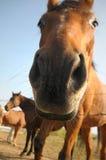 nyfiken häst Fotografering för Bildbyråer