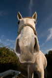 nyfiken hästwhite Arkivfoton