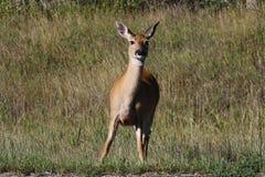 nyfiken hjortmule Arkivbild