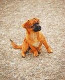 nyfiken hund Arkivbild