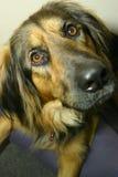 nyfiken hund Arkivfoto