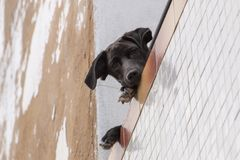 Nyfiken hund på balkong Royaltyfria Bilder