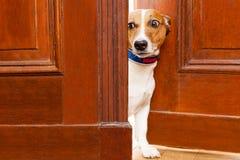 Nyfiken hund på dörren arkivfoton
