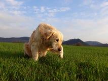 Nyfiken hund på det gröna fältet royaltyfri foto