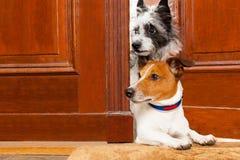 Nyfiken hundkapplöpning på dörren royaltyfri fotografi