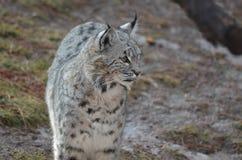 Nyfiken irrande Bobcat Fotografering för Bildbyråer