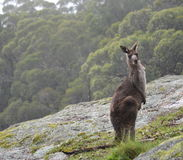 Nyfiken känguru i busken Royaltyfri Fotografi