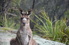 Nyfiken känguru i busken Fotografering för Bildbyråer