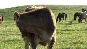 nyfiken kalv lager videofilmer