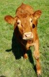 Nyfiken kalv i vår Fotografering för Bildbyråer