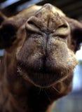 nyfiken kamel Arkivfoto
