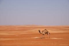 Nyfiken kamel som går till och med dynerna Arkivfoton