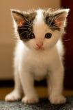 nyfiken kattunge som 3 ser gammala veckor dig Royaltyfria Bilder