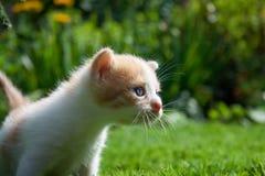 Nyfiken kattunge som kontrollerar att omge Arkivfoton
