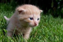 Nyfiken kattunge som kontrollerar att omge Royaltyfria Foton