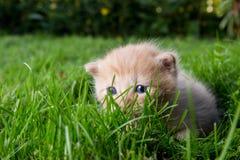 Nyfiken kattunge som kontrollerar att omge Royaltyfria Bilder