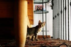 Nyfiken kattunge som stirrar på kameran Royaltyfri Bild
