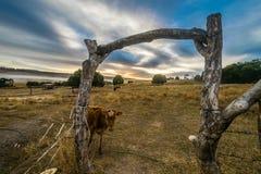 Nyfiken ko under en soluppgångtimelapse på glenedenoxen t Arkivbilder