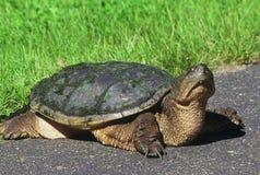 Nyfiken låsande fast sköldpadda på en bana Royaltyfri Fotografi