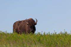 Nyfiken lös bison royaltyfri foto