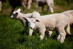 nyfiken lamb royaltyfri fotografi