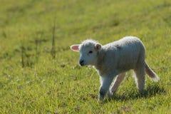 nyfiken lamb little Arkivbild