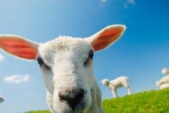 nyfiken lambfjäder arkivfoto