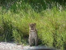 nyfiken leopard Arkivbilder