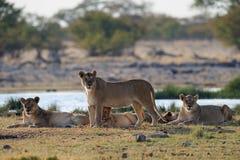 Nyfiken Lion Group blick, etoshanationalpark, Namibia arkivfoton