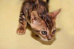 Nyfiken liten bengali kattunge med stora ögon Arkivfoto