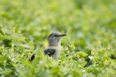 Nyfiken liten fågel som omges av gröna sidor Royaltyfri Bild