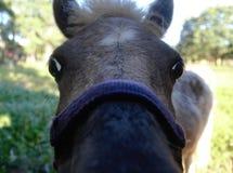 Nyfiken liten häst Arkivfoton
