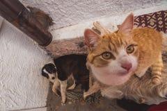 Nyfiken ljust rödbrun strimmig kattkatt som ser kameran arkivfoto